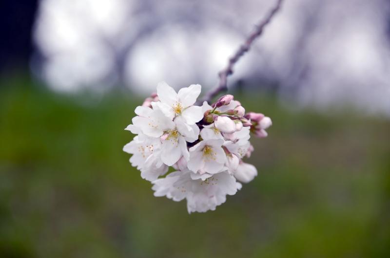 私がiPhoneで写真を撮る時にやっていること ~ iPhoneで綺麗に桜の写真を撮る方法。